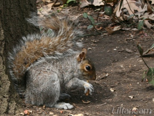 Eekhoorn, Central Park, New York, USA, Amerika
