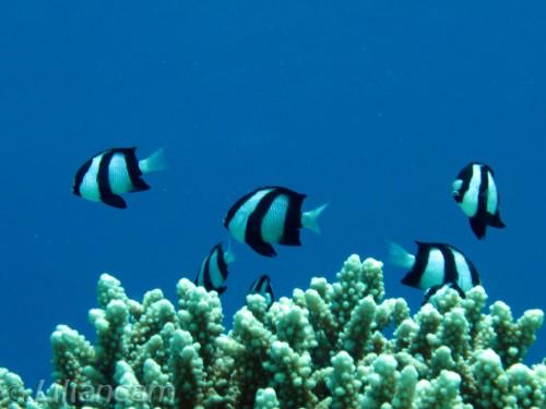 Markiezinnetjes, rifbaarzen, Gota Abu Ramada Oost, Rode Zee, Hurghada, Egypte
