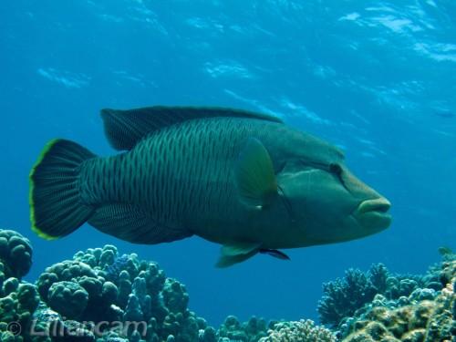 Napoleonvis, Lipvissen, Gota Abu Ramada Oost, Rode Zee, Hurghada, Egypte