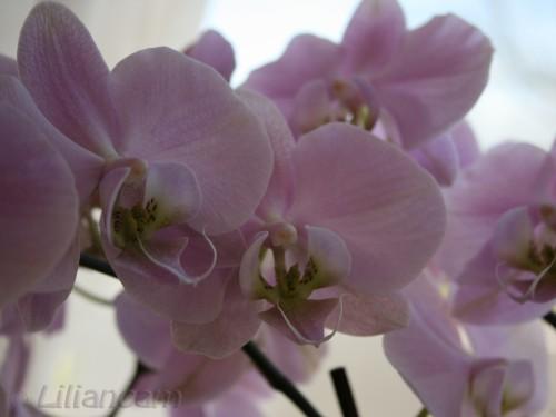 Phalaenopsis, Orchideeën, Vlinderorchidee, orchidee