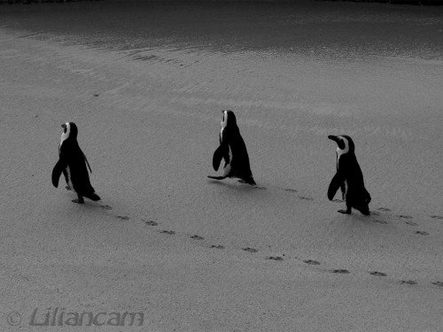 Afrikaanse Pinguin, Boulders beach, Simons Town, Kaapstad, Zuid-Afrika