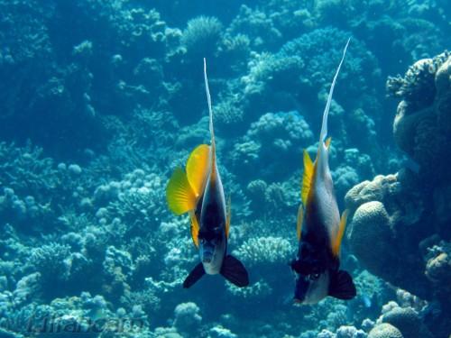 Rode Zeewimpelvissen, Turtle Bay, Rode Zee, Hurghada, duiken, Egypte, wimpelvissen, synchroonzwemmen