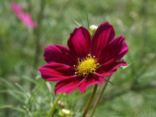 Meisjesogen (Coreopsis Nudata) - Paarse bloem, stenen woud, china