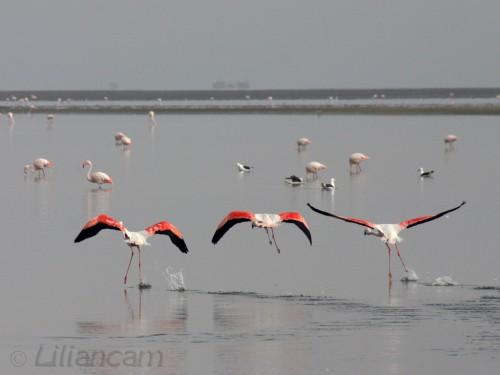 Flamingo's, walvisbaai, Namibië, Atlantische Oceaan, 09-06-2005, watervogels