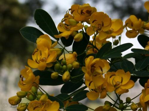 Indische gouden regen - Gele kleine bloemetjes lijken op orchidee, stenen woud, china