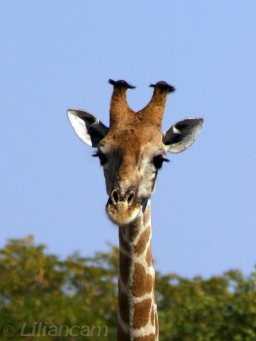 Giraf, Etosha National Park, Namibië, Afrika, Giraffe