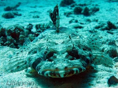 Krokodilvis, El Aruk Gigi, Hurghada, Rode Zee, Egypte