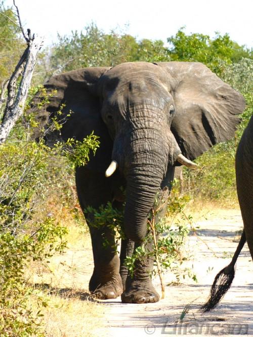 Afrikaanse Olifant, Mosi-oa-Tunya National Park, Livingstone, Zambia, Afrika