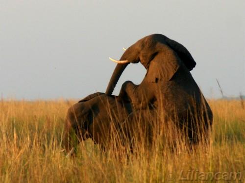 Parende olifanten, Afrikaanse olifant, Chobe National Park, Botswana, Zambia, Afrika