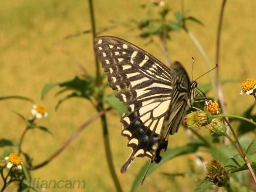 Vlinder, koninginnenpage, stenen woud, china, kamille