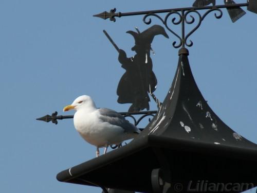 Zeemeeuw, schoorsteen, Port Greve, Zeeland, Landal