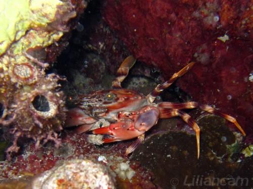Rode Zwemkrab, krabben, El Fanadir Zuid, Rode Zee, Hurghada, Egypte