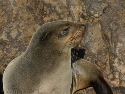 Pelsrob, robbenkolonie, Capecross, Namibië, Afrika, Atlantische Oceaan, 07-06-2010, zeeleeuw, zeehond