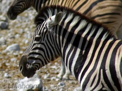 Zebra, Etosha National Park, Namibië, Afrika, Wilde Zebra